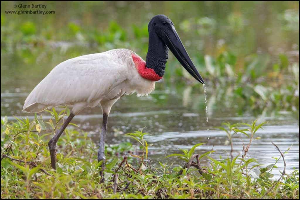 Jabiru (Jabiru mycteria) feeding in a wetland area in the Pantanal region of Brazil - Photo by Glenn Bartley