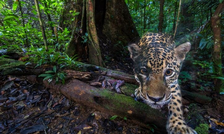 Ecuador's vanishing jaguars: the big cat vital to rainforest survival