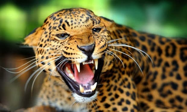 Jaguars killed for fangs to supply growing Chinese medicine trade