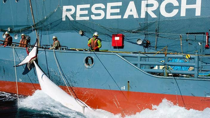 "POLL: Should Japan's ""research whaling"" program be closed down?"