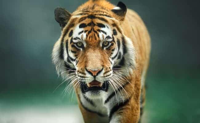 Is the 'Extinct' Javan Tiger Still Alive in Indonesia?