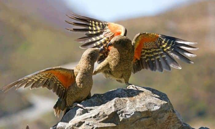 New Zealand kea, the world's only alpine parrot, faces extinction