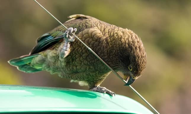 Beak fitness: New Zealand develops roadside gym for endangered keas