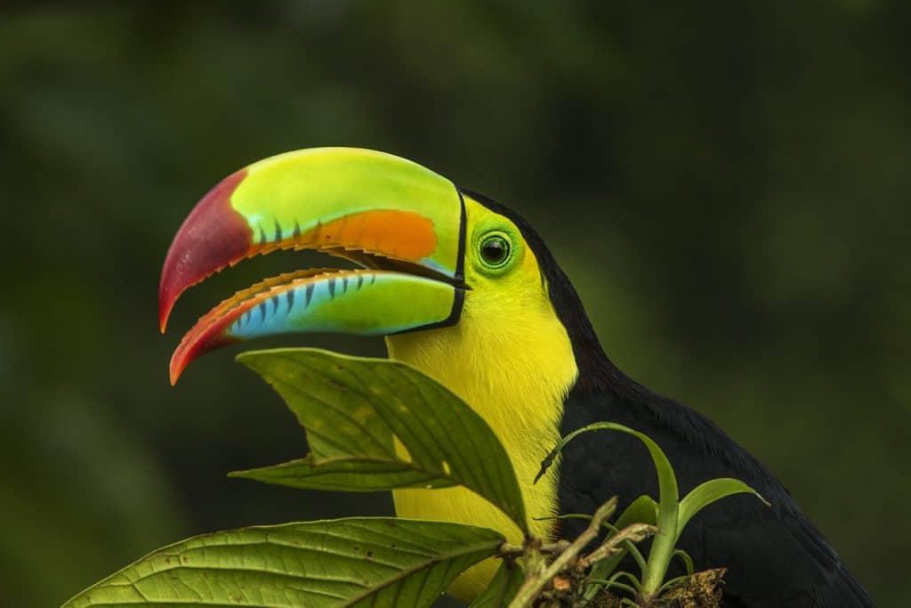 keel billed toucan 0r8a5518