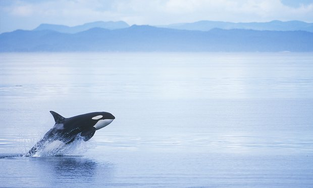 POLL: Should this Canadian pipeline project be scrapped to save killer whales?
