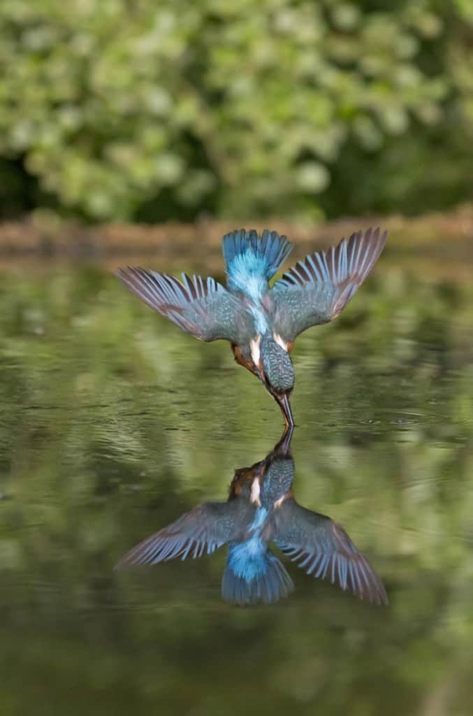 Dive-bombing kingfisher's underwater hunt caught on camera ...