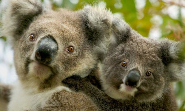 Koala and kangaroo culling considered as numbers become 'overabundant'