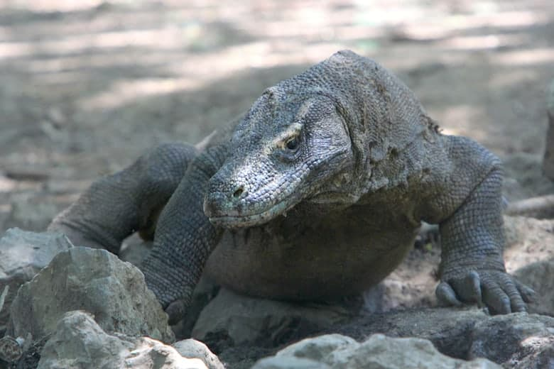 Komodo dragon: one of Indonesia's rare conservation success stories
