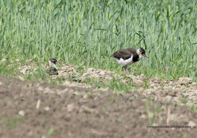 Lapwings close to fledging