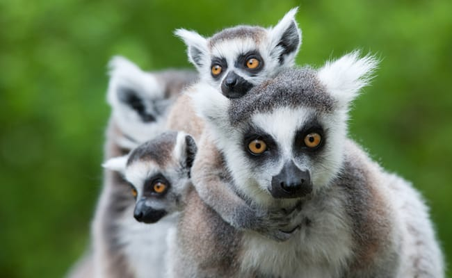 95 Percent of the World's Lemurs Are Facing Extinction