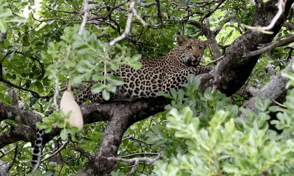 South Africa bans leopard hunts due to uncertainty on numbers