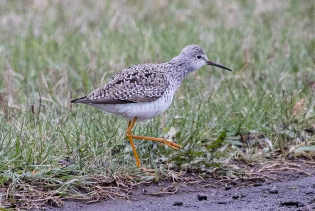 Brrrrrrrr! But a Lesser Yellowlegs