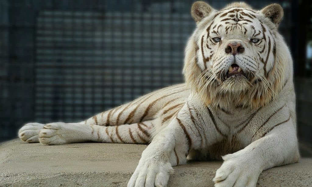 POLL: Should the inter-breeding of lions and tigers be banned?