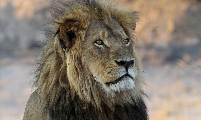 POLL: Could trophy hunting help conserve lions?