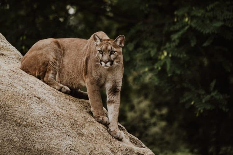 Rodent Poison Found in Two Dead Southern California Mountain Lions