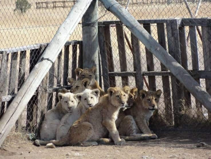 Factory Farms Where Deformed Lions and Tigers Are Bred for Body Parts Uncovered: Cubs Are Seen Pacing Around Crying
