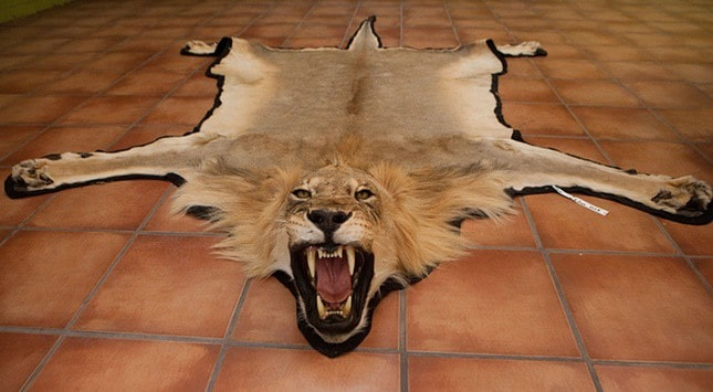 POLL: Should the EU ban the import of lion hunt trophies?