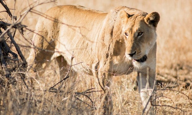 Fourteen lions escape from Kruger park in South Africa