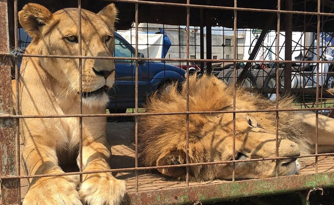 Rescued Circus Lions Take Their First Steps on Grass