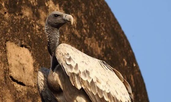 New study: India may have even fewer vultures than we thought
