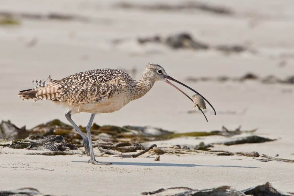 Curlews in crisis?