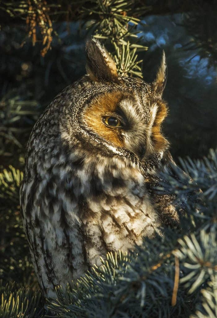 long eared owl 0r8a6611 1