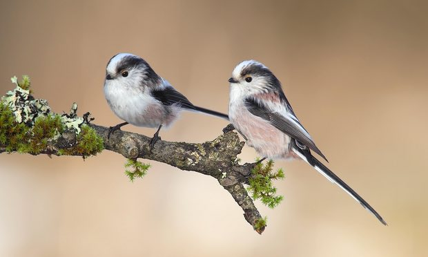 The long-tailed tit – successful, adaptable, sociable, and oh so cute