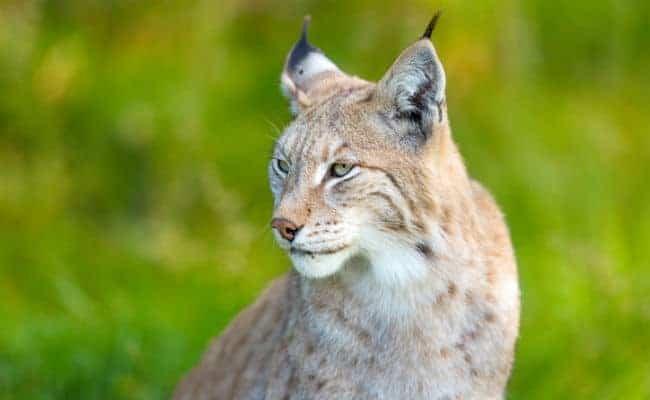 POLL: Should the Eurasian Lynx be reintroduced?