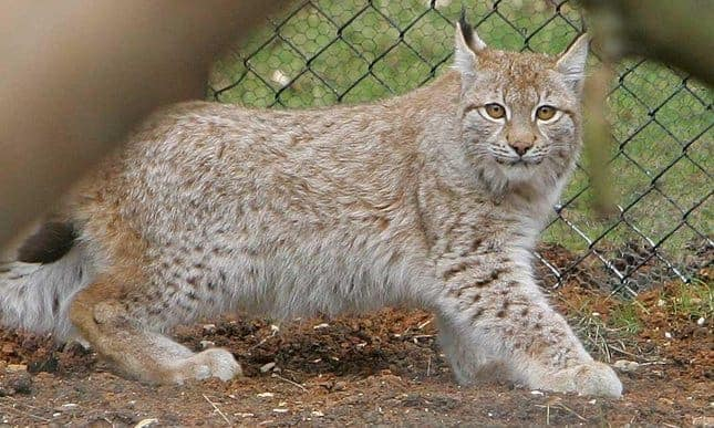POLL: Should the lynx be rewilded in the UK?