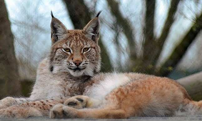 Welsh zoo outraged after escaped lynx is killed over public safety fears