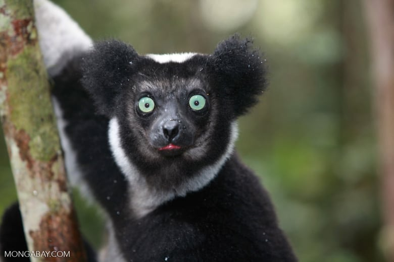Madagascar: Conservation official arrested for killing 11 endangered lemurs