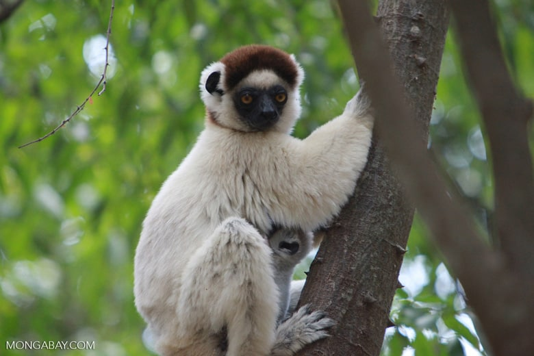 "Sifaka lemurs listed as ""critically endangered"" amid mysterious die-off"