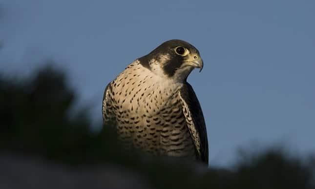 Maltese falcon makes a comeback