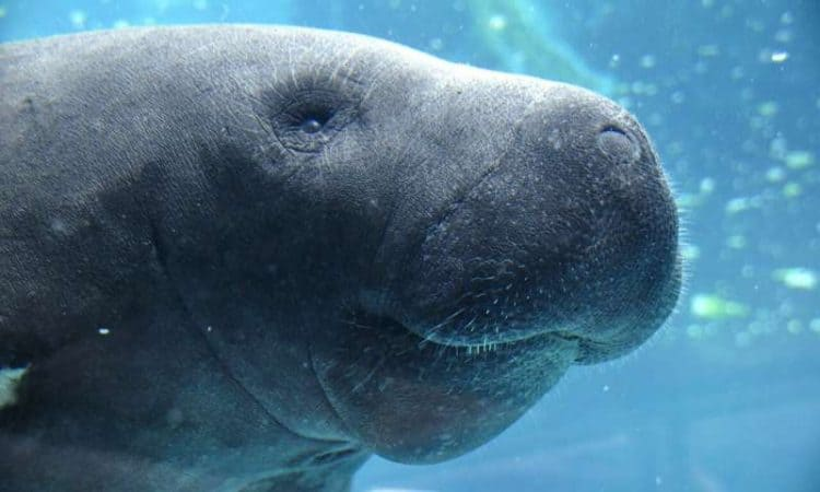 Manatee deaths by watercraft rising at record pace in Florida