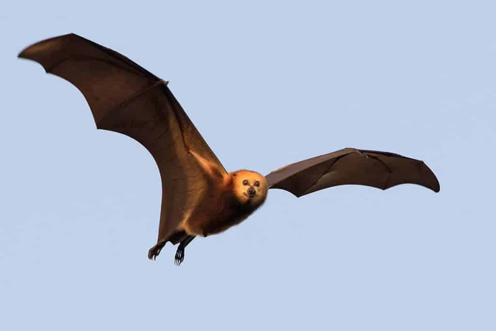 POLL: Should Mauritius be allowed to cull its bats?