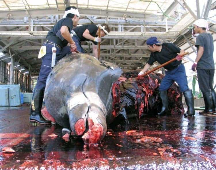 POLL: Should Japan be sanctioned for slaughtering Minke whales?