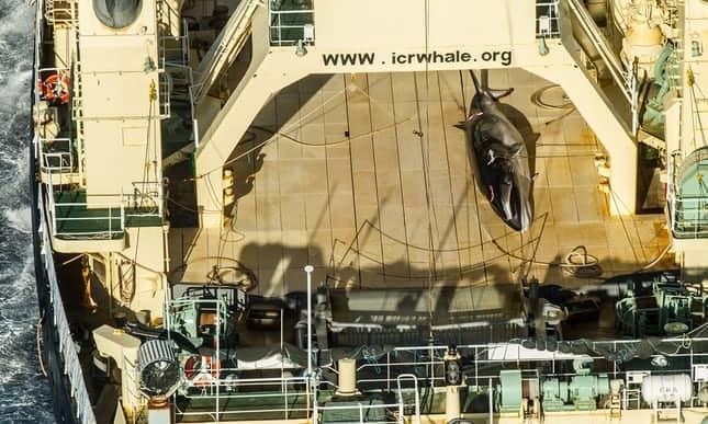 POLL: Should Japan be sanctioned for killing 120 pregnant minke whales?