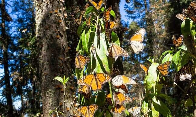 Storms devastate monarch butterflies' habitat in Mexico