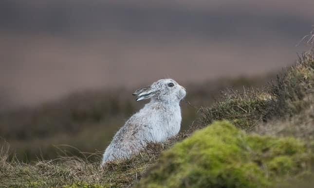 POLL: Should the culling of Scotland's mountain hares be banned?