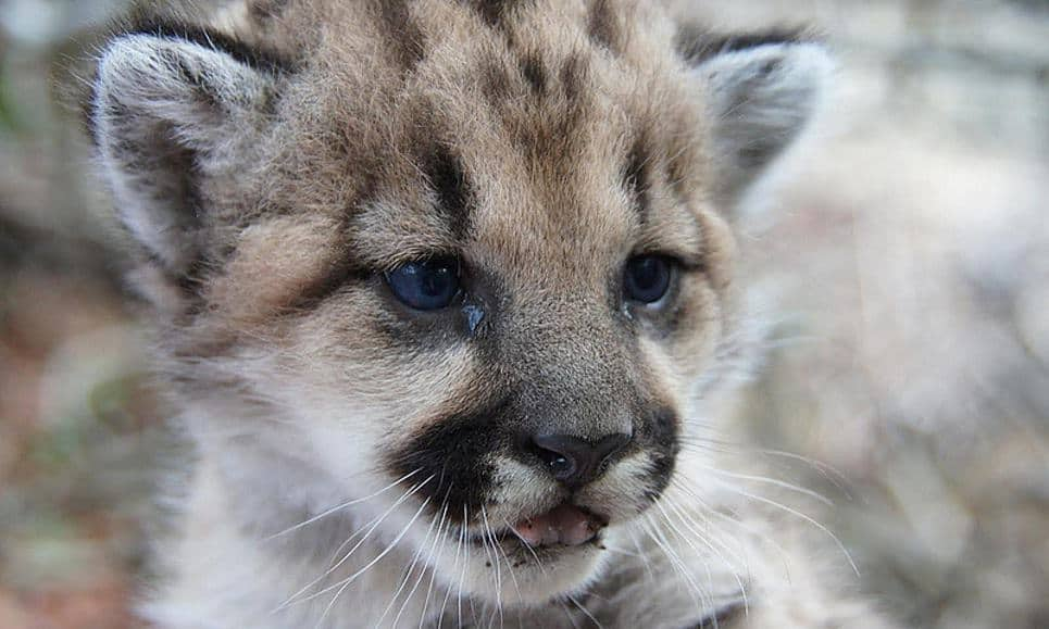 Mountain lion kitten spotted near Los Angeles fuels conservation hopes