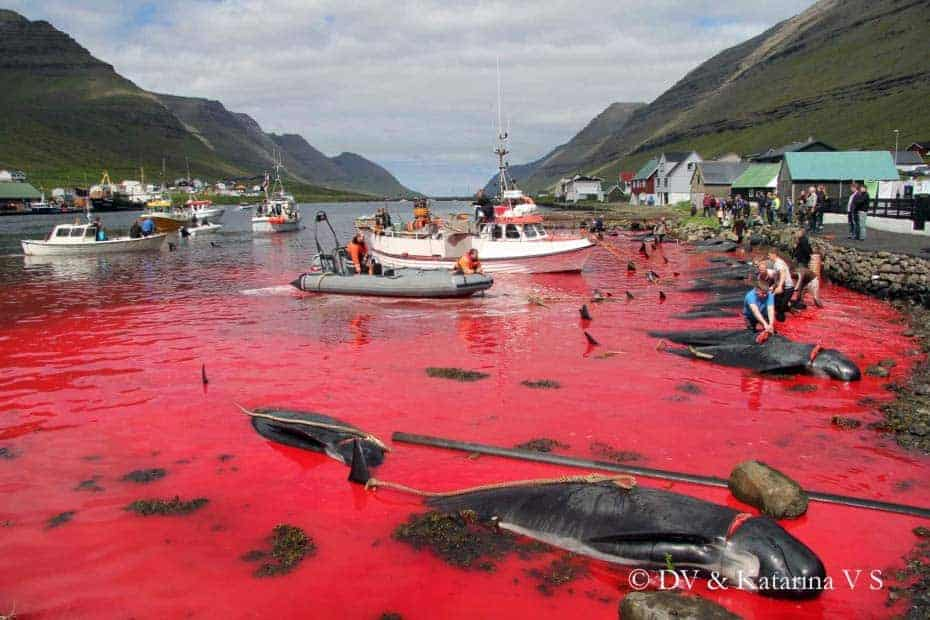 POLL: Should the slaughter of pilot whales in the Faroes be stopped?