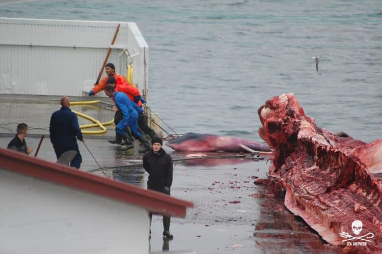 Victory for Whales as Iceland Delays Whaling Permit