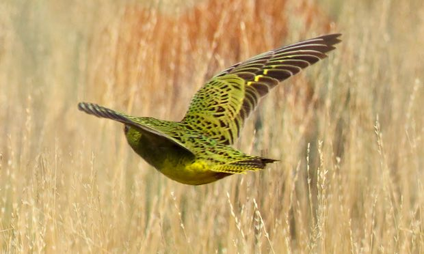 Night parrot sighting in Western Australia for first time in 100 years