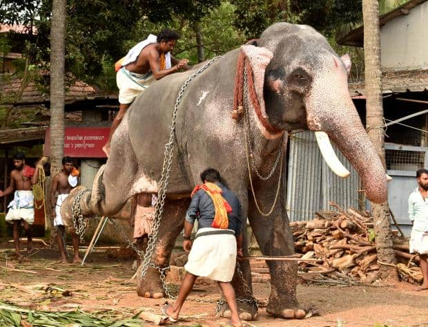 Horror of Cruel Captivity for India's 'Tourist' Elephants