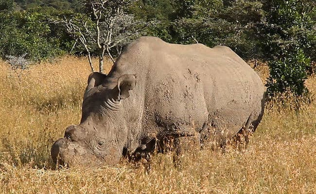 Last male Northern White Rhino on earth joins Tinder to find mate for life