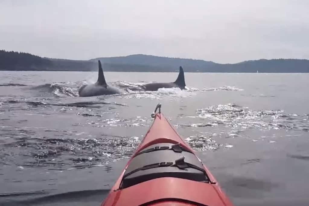 Video: Kayaker gets close and personal with killer whales