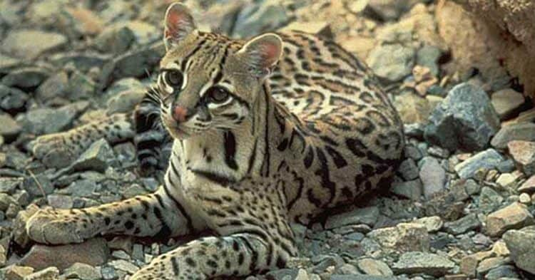 Rare Footage of Arizona Ocelot Shows What Could Be Lost by Border Wall