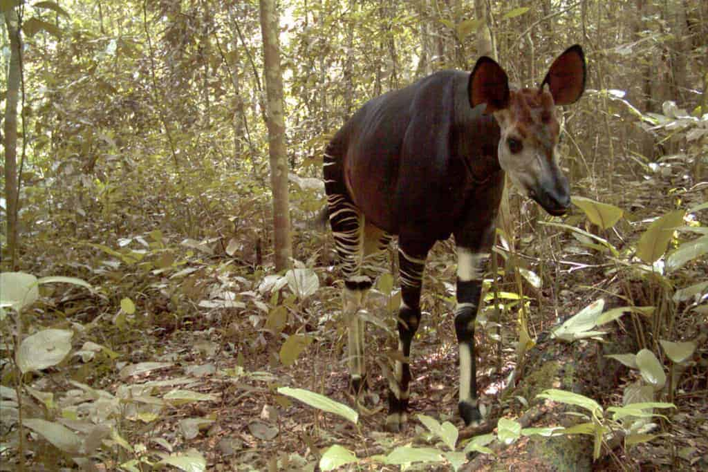 A new plan to pull the Okapi back from the brink of extinction