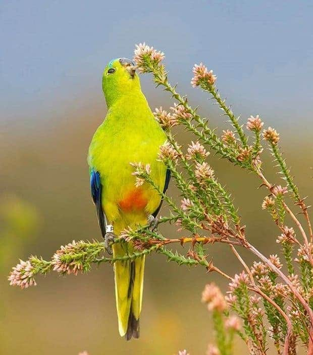 Breeding for their lives: the fragile plight of orange-bellied parrots