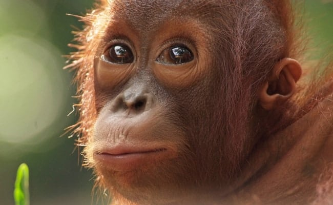 These Baby Orangutans Show the Heartbreaking Price of Wildlife Trafficking